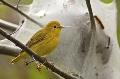 Yellow Warbler Foraging. At a Caterpillar Nest Royalty Free Stock Photo