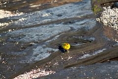 Yellow Warbler (Galapagos, Ecuador) Tide Pool Royalty Free Stock Image
