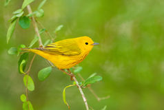 Yellow Warbler, with Green background Stock Photos
