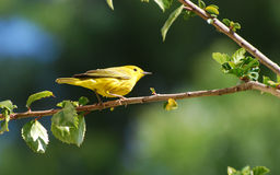 Yellow Warbler in Hibiscus bush. Image shows a Yellow Warbler (Dendroica petechia) in a Hibiscus bush. Photo location is in Laguna Woods, California although Stock Image