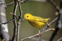 Yellow Warbler in the Hudson Valley. A yellow warbler perched in a tree in the Hudson Valley. This image was taken by Debbie Quick from Debs Creative Images. To royalty free stock photo