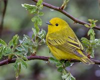 Free Yellow Warbler In A Spring Rain Royalty Free Stock Image - 127158796