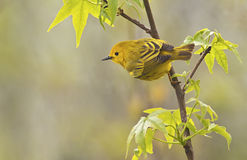 Yellow Warbler Male. Yellow Warbler (Dendroica petechia aestiva), male in breeding plumage Royalty Free Stock Photo