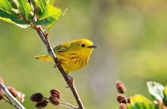 Yellow Warbler, Male.  Nova Scotia, Canada Stock Photos