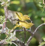 Male Yellow Warbler Breeding Behavior. The yellow warbler is a New World warbler species. Sensu lato, they make up the most widespread species in the diverse Stock Images