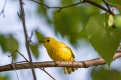 Male Yellow Warbler. The yellow warbler is a New World warbler species. Sensu lato, they make up the most widespread species in the diverse Setophaga genus Royalty Free Stock Photos