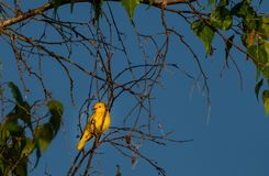 Yellow warbler female. Yellow warbler  on a perch in a tree at sunrise female Royalty Free Stock Images