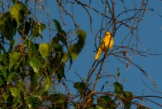 Yellow warbler female. Yellow warbler  on a perch in a tree at sunrise female Royalty Free Stock Image