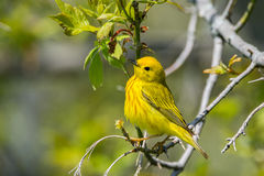 Yellow Warbler Royalty Free Stock Photos
