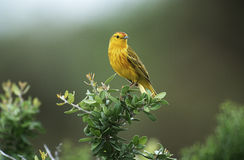 Yellow Warbler perching on bush Royalty Free Stock Image