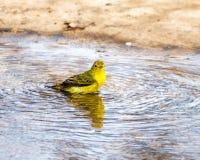 Yellow Warbler Stock Image