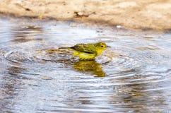 Yellow Warbler Royalty Free Stock Photo