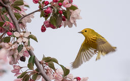 Yellow Warbler Setophaga Petechia Royalty Free Stock Image
