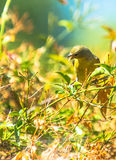 Yellow Warbler (Setophaga petechia).  Stock Image