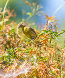 Yellow Warbler (Setophaga petechia).  Royalty Free Stock Images