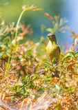Yellow Warbler (Setophaga petechia).  Stock Photography