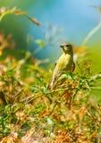 Yellow Warbler (Setophaga petechia).  Royalty Free Stock Photo
