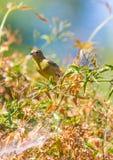 Yellow Warbler (Setophaga petechia).  Stock Photo