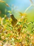Yellow Warbler (Setophaga petechia).  Royalty Free Stock Photography