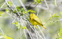Yellow Warbler Setophaga petechia Searching for Insect Food During Migration. Yellow Warbler  Setophaga petechia Searching for Insect Food During Spring stock photos