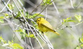 Yellow Warbler Setophaga petechia Searching for Insect Food During Migration. Yellow Warbler  Setophaga petechia Searching for Insect Food During Spring royalty free stock images