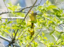 Yellow Warbler Setophaga petechia Searching for Insect Food During Migration. Yellow Warbler  Setophaga petechia Searching for Insect Food During Spring stock image