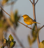 A Yellow Warbler Stock Photos