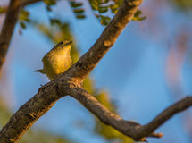 A Yellow Warbler Stock Image