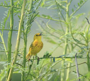 Yellow warbler singing. Adult yellow warbler singing for a mate in the tropical federal reserve of Cartagena lagoon, Lajas, Puerto Rico Stock Photo
