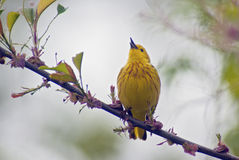 Yellow Warbler Singing. From a colorful perch Stock Photos