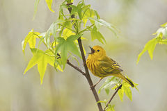 Yellow Warbler Singing. Yellow Warbler (Dendroica petechia aestiva), male in breeding plumage, singing from perch Stock Photo