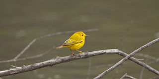 Yellow Warbler. Royalty Free Stock Image