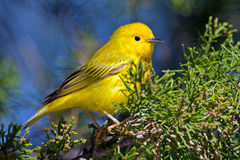Yellow Warbler. Sitting in a tree Royalty Free Stock Image