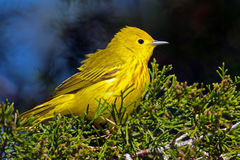 Yellow Warbler. Sitting in a tree Royalty Free Stock Photo