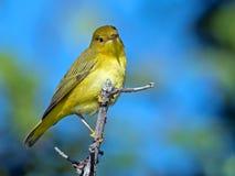 Yellow Warbler Royalty Free Stock Photos