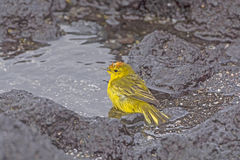 Yellow Warbler Taking a Bath in a the Ocean Stock Photo
