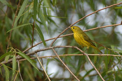 Yellow Warbler on tree branch Stock Images
