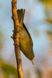 A Yellow Warbler upside down Royalty Free Stock Image
