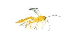 Yellow wasp Royalty Free Stock Image