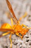 Yellow wasp. Macro looking great stock photography