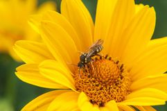 Yellow wasp close-up sitting on a yellow large bright flower in the summer stock images