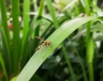 Yellow wasp eating a black food over a green big leaf with nature background. Lovely insect using its legs to eat royalty free stock photo