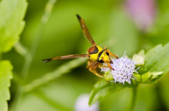 Yellow wasp in green nature Stock Photography