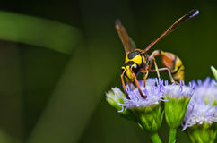 Yellow wasp in green nature or in garden Stock Photography