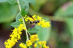 Yellow Wasp Purple Wings Royalty Free Stock Images