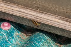 Yellow wasp standing on tree royalty free stock photos