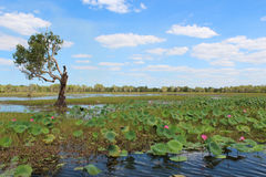 Yellow Water Billabong. View of the Yellow Water, Kakadu's most famous wetland (Australia stock images