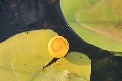 Yellow water flowers ( Nuphar Lutea ) Stock Photos