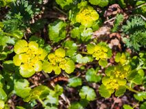 Yellow water flowers in the spring forest.  stock photos