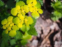 Yellow water flowers in the spring forest.  stock photo